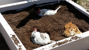 plant eggs, get hens